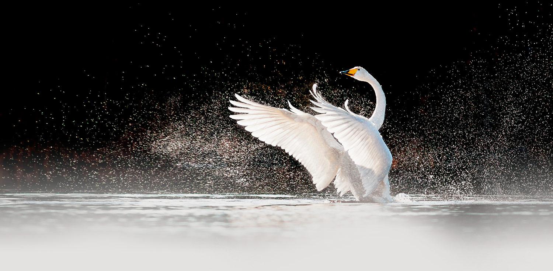 gen-estatic-phor-cisne
